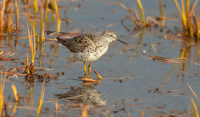 Lesser Yellowlegs / Hrísastelkur (Tringa flavipes)