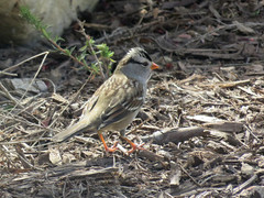 White-crowned Sparrow (3/3)