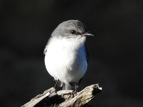 White- breasted Robin