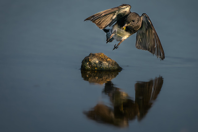 Black Phoebe landing with a fly