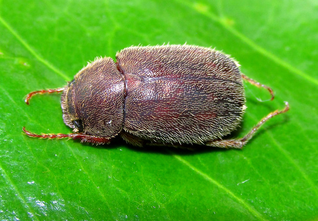 Plectris sp. (Coleoptera:Melolonthidae)