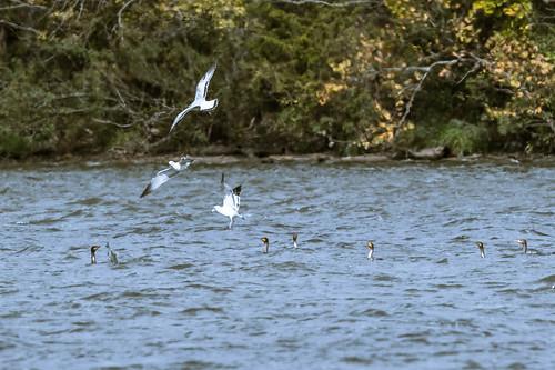 clarksville clintoncounty ringbilledgull fish ohio birds cowanlake doublecrestedcormorant wilmington unitedstatesofamerica