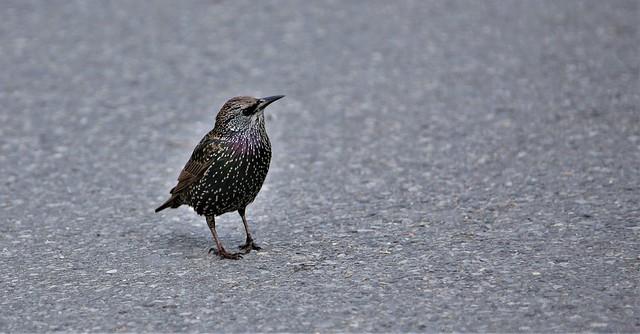 Starlings #5