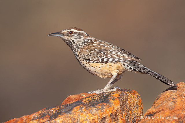 Cactus Wren Perched On The Top Of Some Iron Oxide Rich Rocks