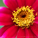 Pink, Red & Yellow Zinnia, 10.7.19