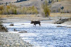 DSC_0043 Moose