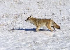 DSC_0480 Coyote