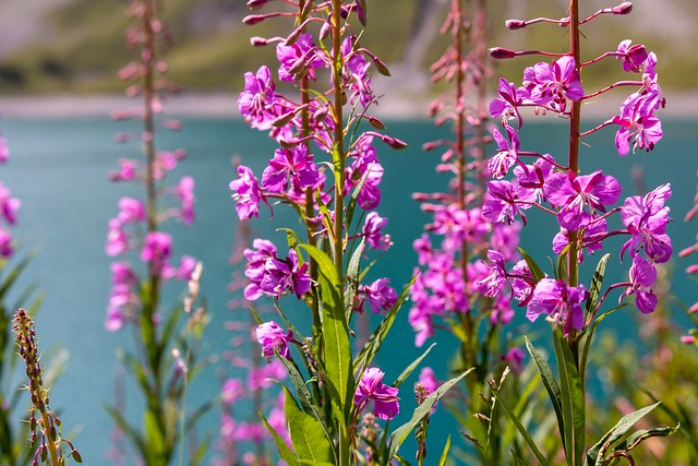 Alp flowers 2