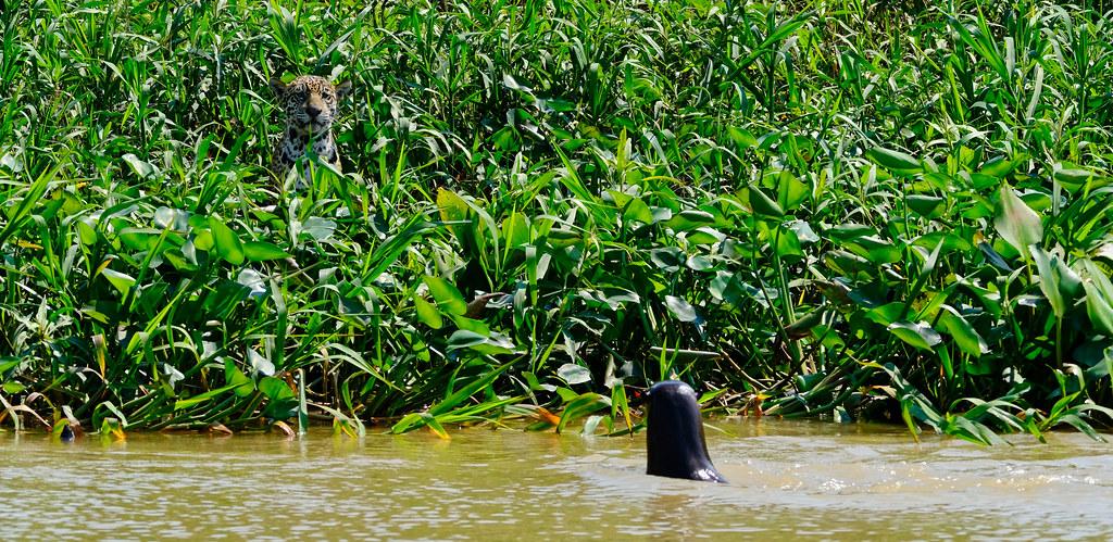 jaguar (Panthera onca) and Giant river otter