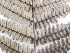 cinammon fern (1 of 1)  (由  Kookoo sabzi