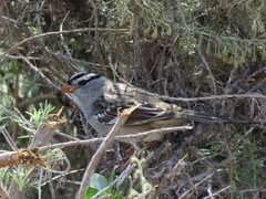 White-crowned Sparrow (3/1)
