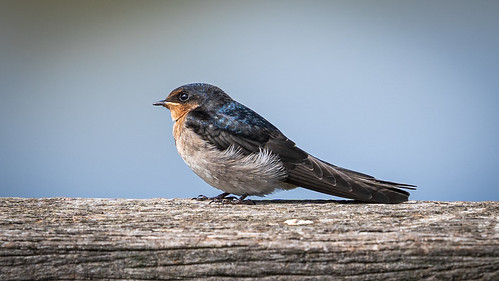 animal bird swallow welcomeswallow aerialinsectivore perched handrail minnippiwetlands brisbane common widespread hirundoneoxena sonya7mkiii