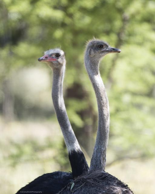 Ostrich, Struthio camelus, Cawston Wildlife Estate, Zimbabwe