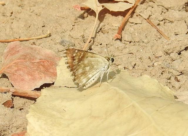 チャマダラセセリ Pyrgus maculatus