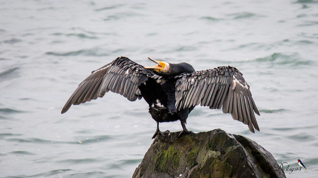 Grand cormoran (Phalacrocorax carbo)