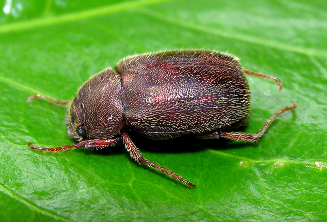Plectris talinay (Coleoptera:Melolonthidae)