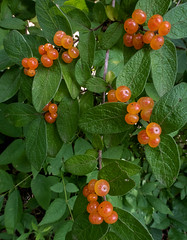 Honeysuckle berries