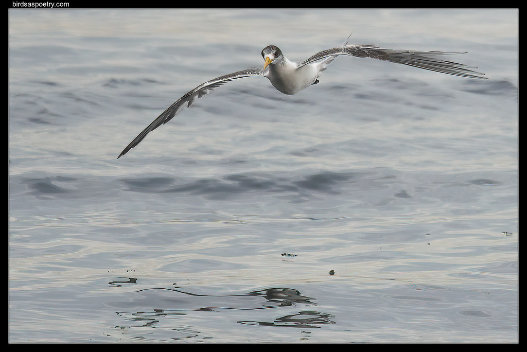 Greater Crested Tern: Working Hard