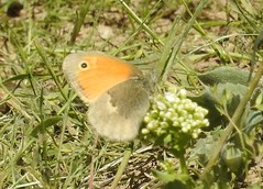 ヒメヒカゲ Small Heath DSCN4322