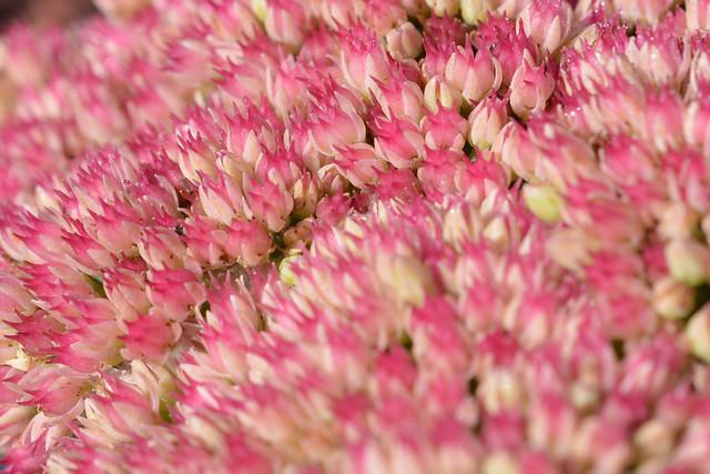 Hylotelephium Herbstfreude (Autumn Stonecrop, Sedum)
