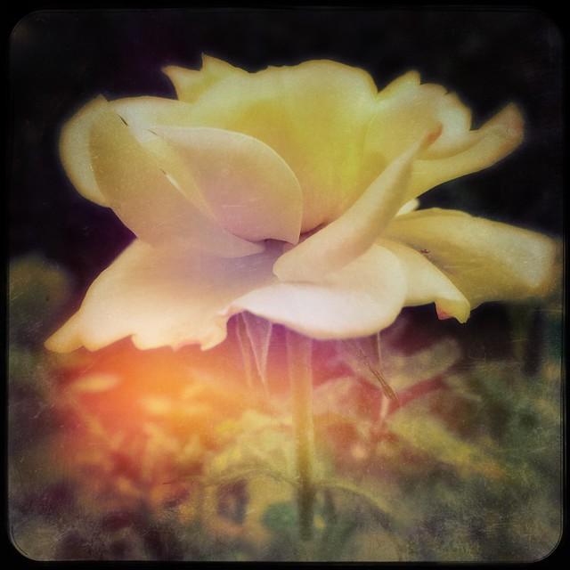 Rosa gialla Tea