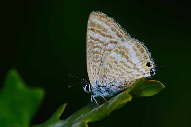 Lampides boeticus (3)