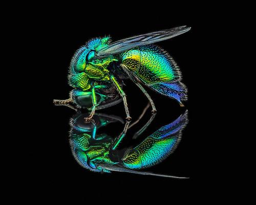 A cuckoo wasp