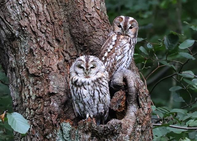 Natugle (Tawny Owl / Strix aluco)