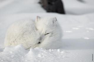 Artic fox sleeping