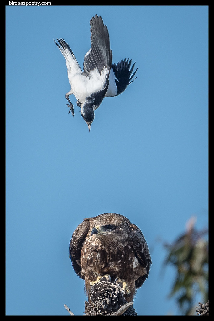 Magpie Lark v Black Kite: It's going to end in Tears