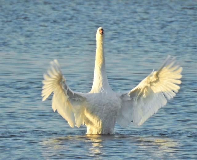 Mute Swan Lake - Cresswell