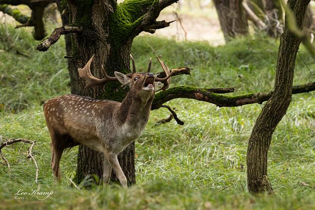 Fallow deer | Burlend damhert
