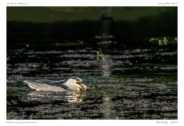 Le héron bihoreau   Black-crowned Night Heron