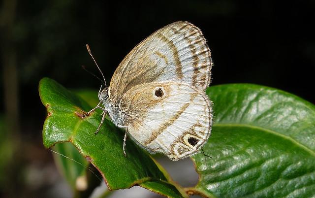 Arawacus dumenilii