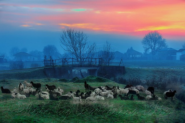 Sheep at misty sunrise