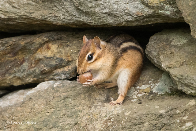 Chipmunk - Yum 502_1509.jpg