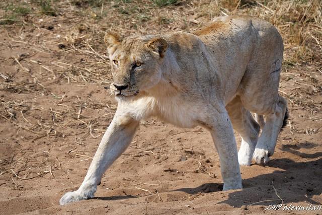 Attaque de lionne - lioness attack