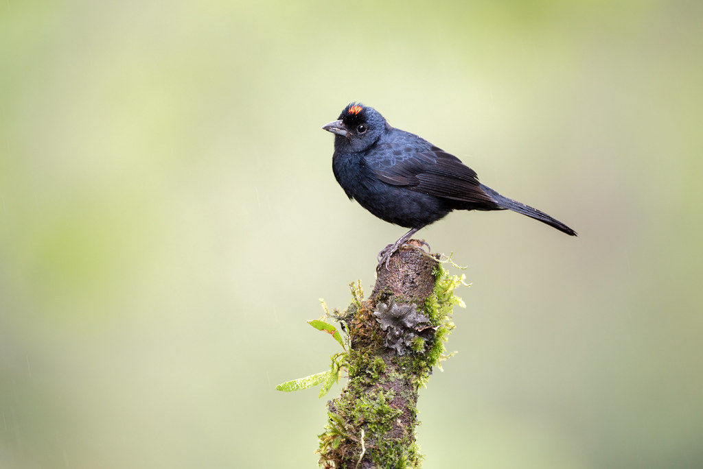 Ruby-crowned tanager (male)