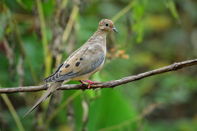 Mourning Dove by Jackie B. Elmore 10-6-2019 Lincoln Co. KY