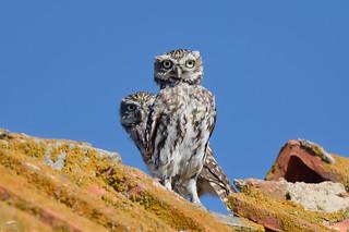 Little Owl - Mocho-galego