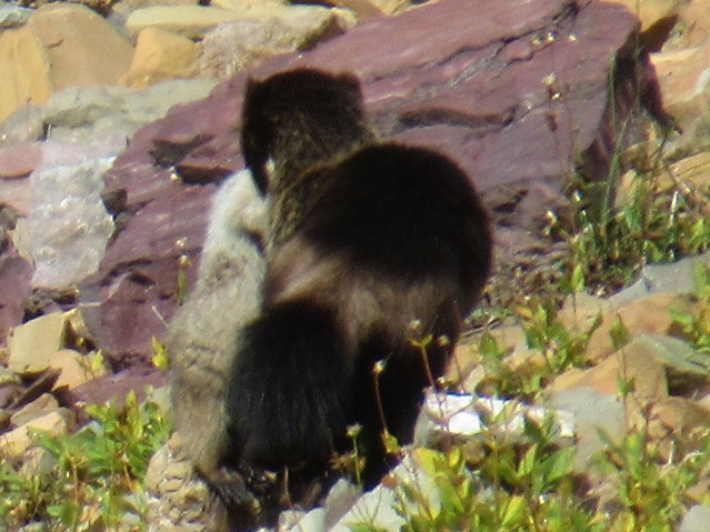 023Zoom - Wolverine and Marmot