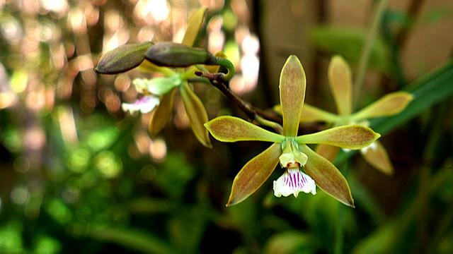 Orquídea Encyclia diurna