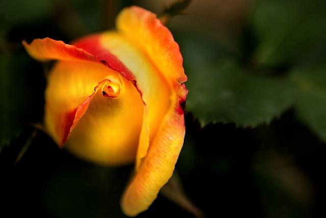 Rose Straight On 3-0 F LR 10-12-19 J419