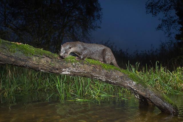 Still hungry - Otter