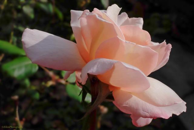 Der Rosenelf
