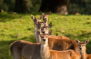 A 'stack' of deer