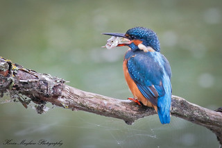 Kingfisher_82A9148