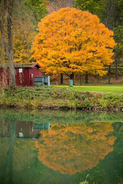 Golden Maple Reflection
