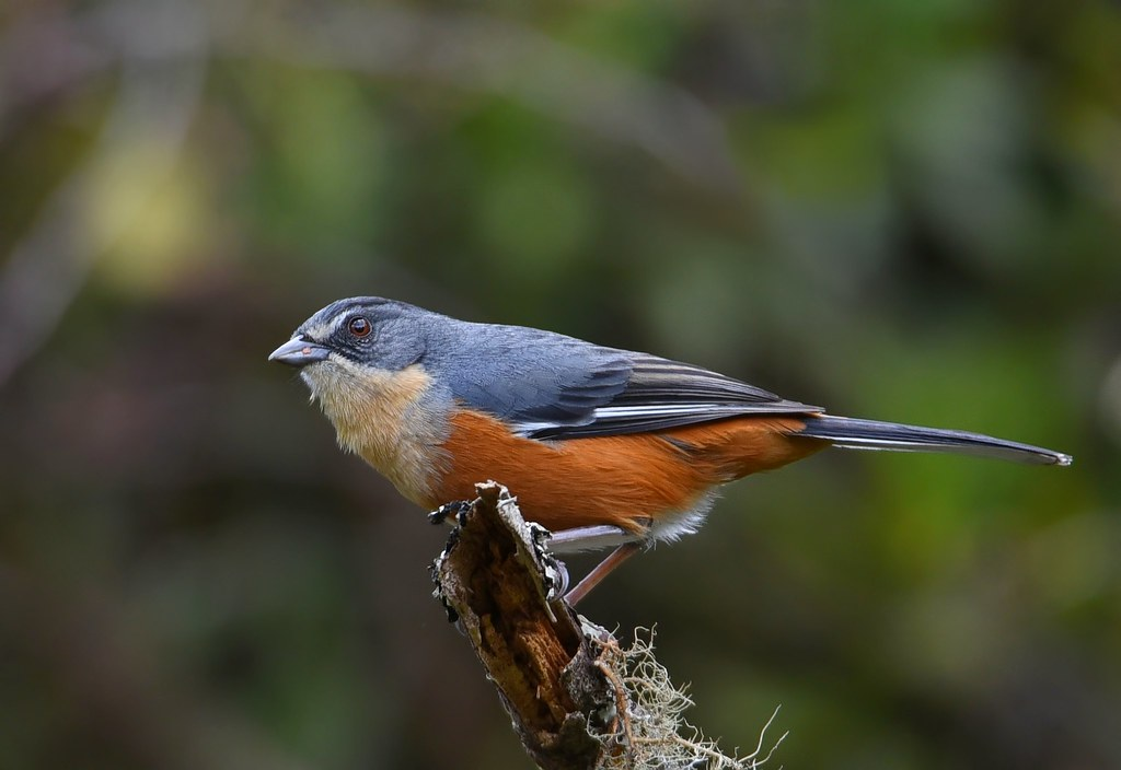 Quete / Buff-throated Warbling-Finch
