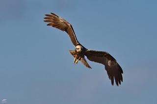 Marsh Harrier - Tartaranhão-dos-paúis